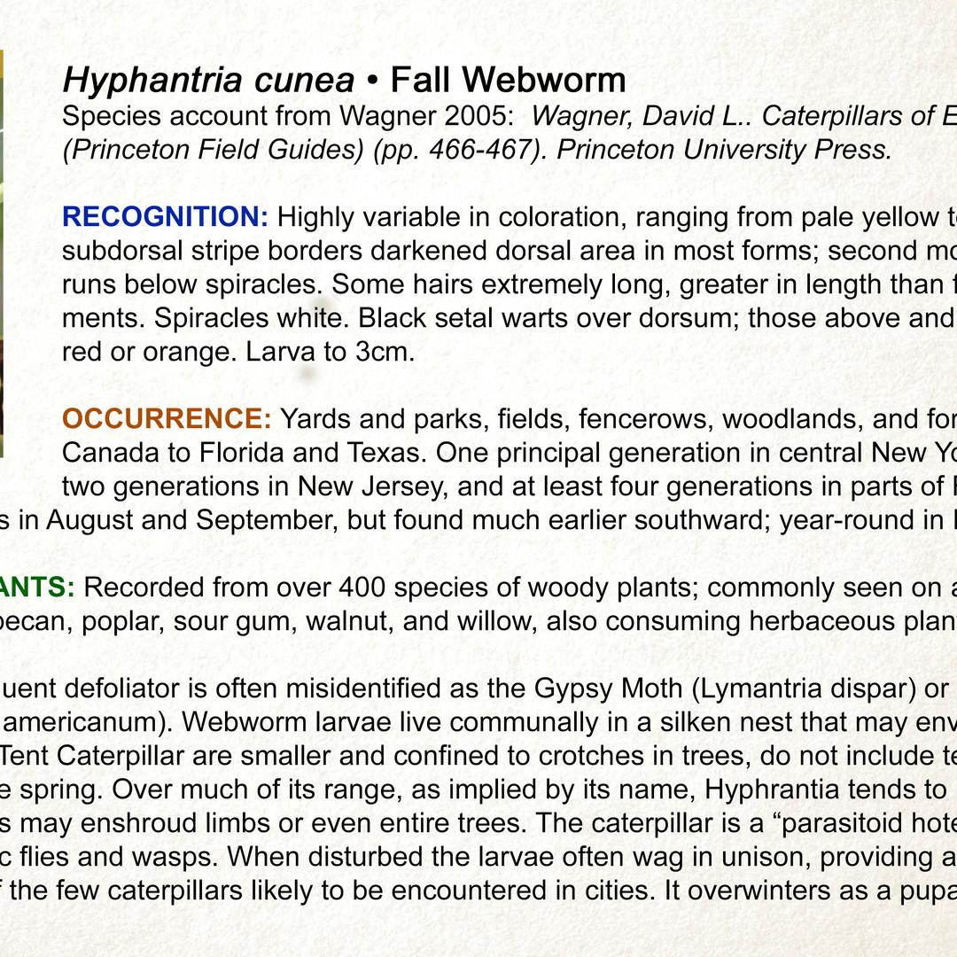 Hyphantria cunea  •  Fall Webworm
