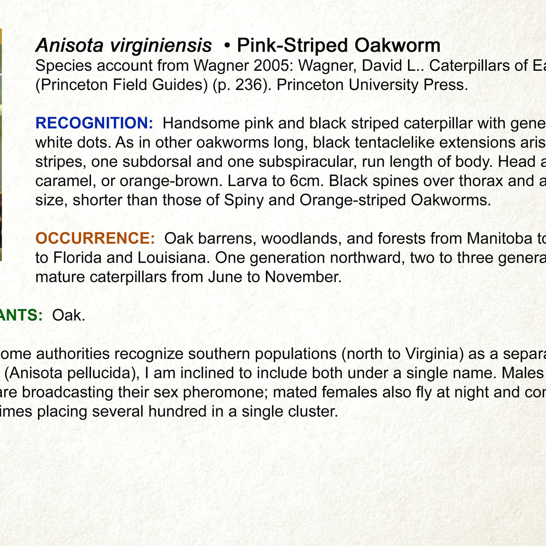 Anisota virginiensis • Pink-striped Oakworm