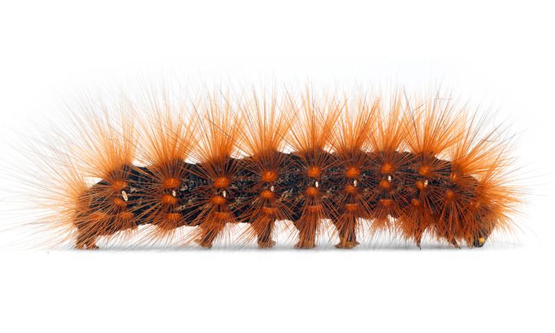 Estigmene acrea  •  Salt Marsh Tiger Moth
