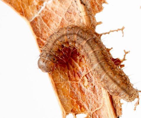 CATERPILLAR OF THE WEEK: litter moth caterpillars!