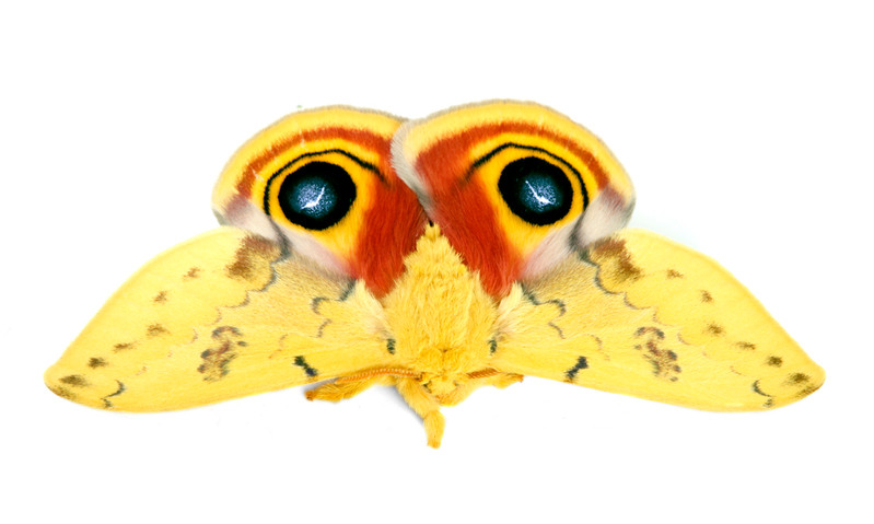 Automeris io • Io Moth
