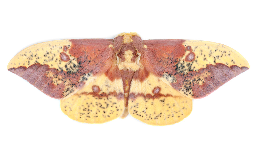 Eacles imperialis • Imperial Moth