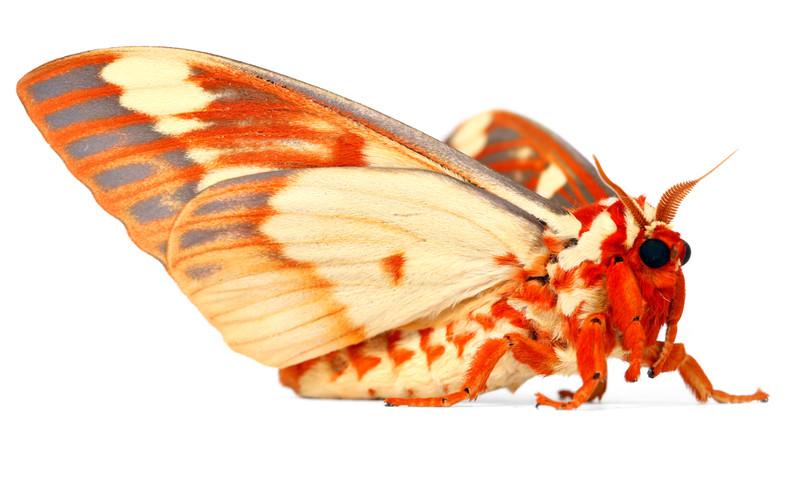 Citheronia regalis • Regal Moth • Hickory Horned Devil