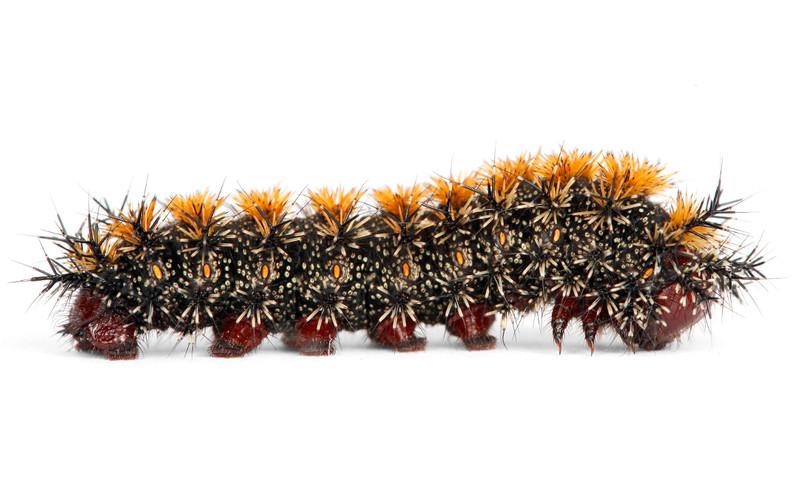 Hemileuca lucina • New England Buckmoth