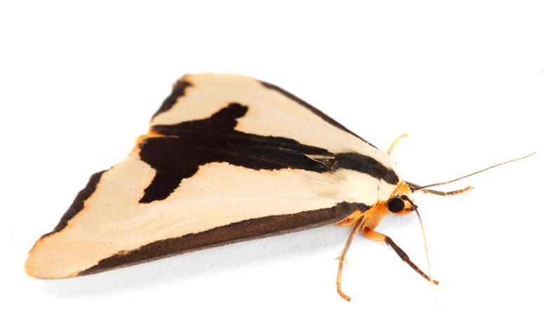 Haploa clymene •  Clymene Moth