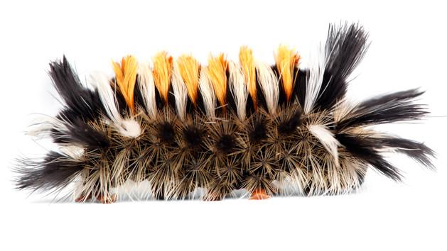 Phaegopterina Tiger Moths