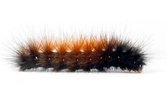 Spilosomina Tiger Moths