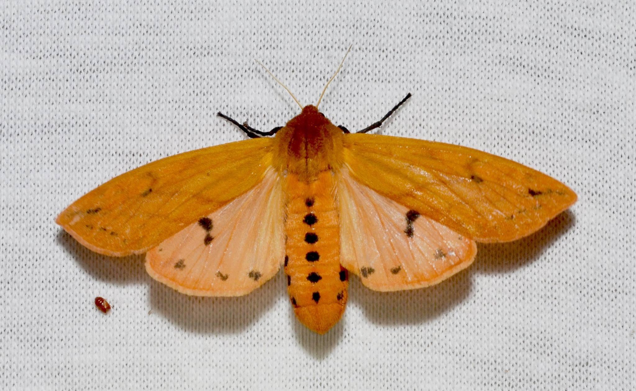 A handsome Isabella Tiger Moth.