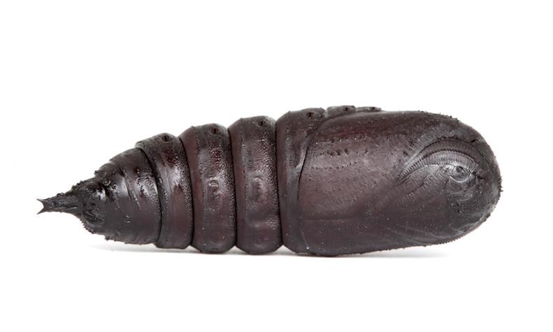 Eacles imperialis • Imperial Moth