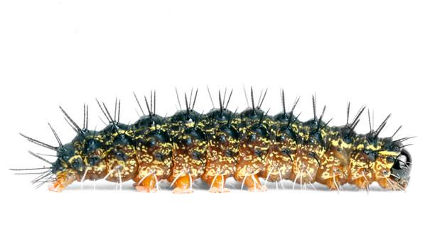Lithosiini Lichen Moths