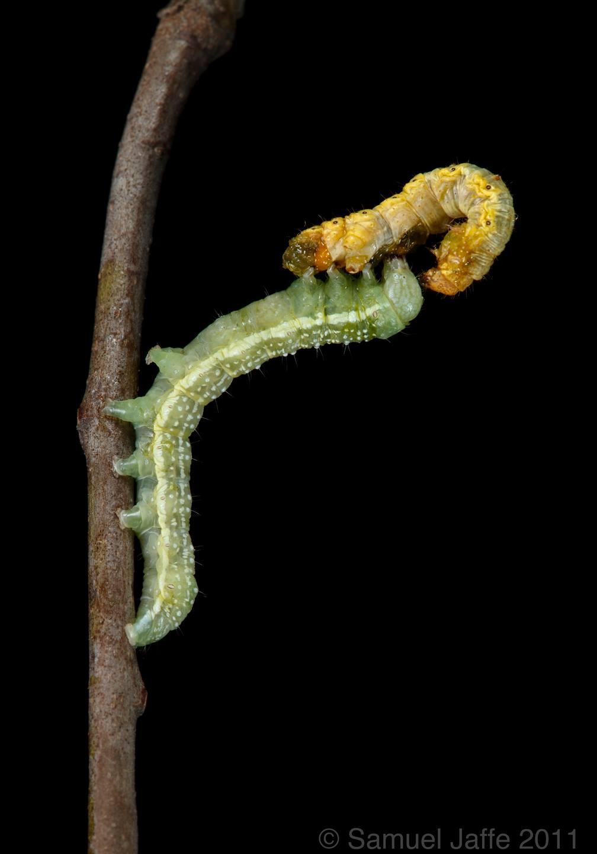 Ashen Pinion Eats Phigalia Inchworm