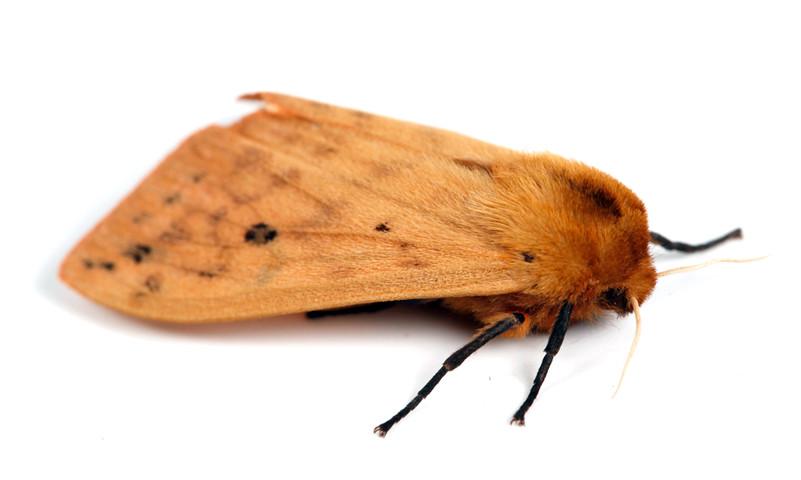 Pyrrharctia isabella • Isabella Tiger Moth • Woollybear