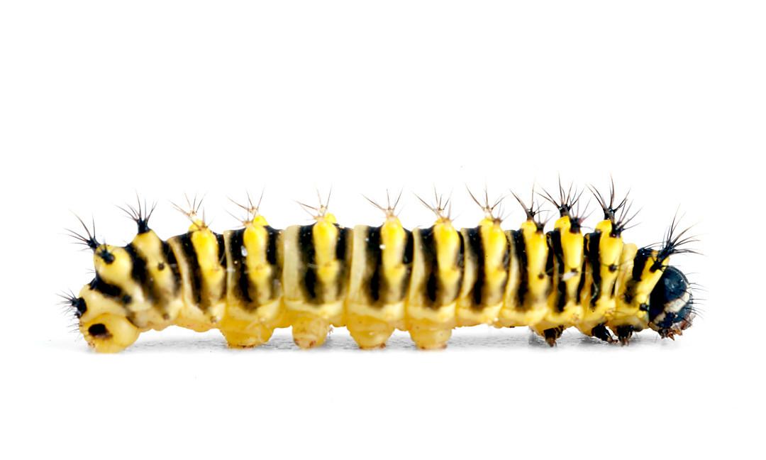 Callosamia promethea • Promethea Moth