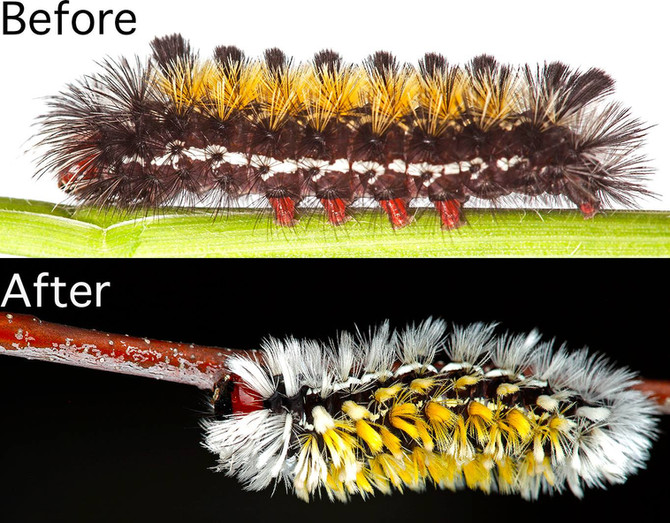 CATERPILLAR OF THE WEEK:  PART II - CTENUCHA SPINES