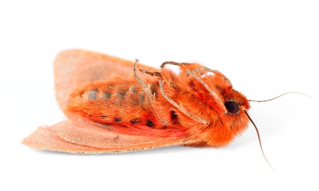 Phragmatobia assimilans  •  Large Ruby Tiger Moth