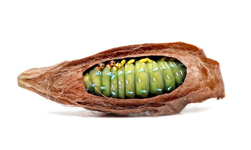 Hyalophora cecropia • Cecropia Moth • Robin Moth