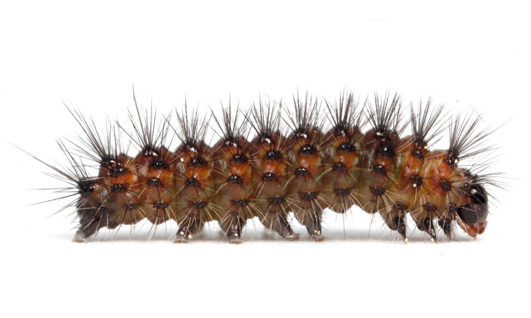 Spilosoma congrua  •  Agreeable Tiger Moth