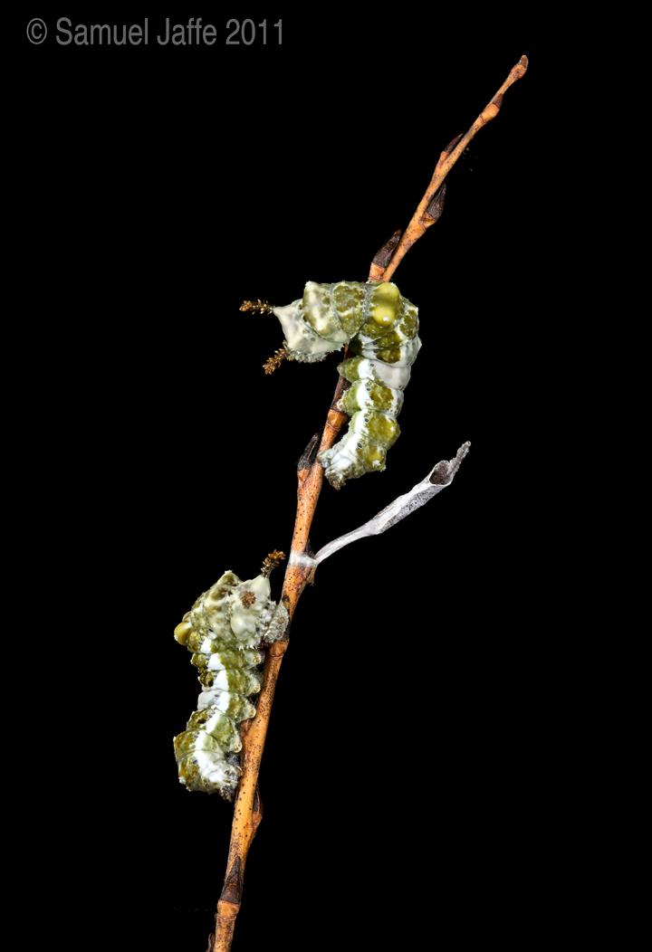 Viceroy Caterpillars
