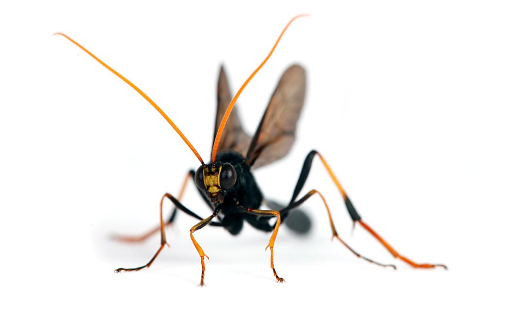 Therion morio  •  Anomalonine Ichneumon Wasp