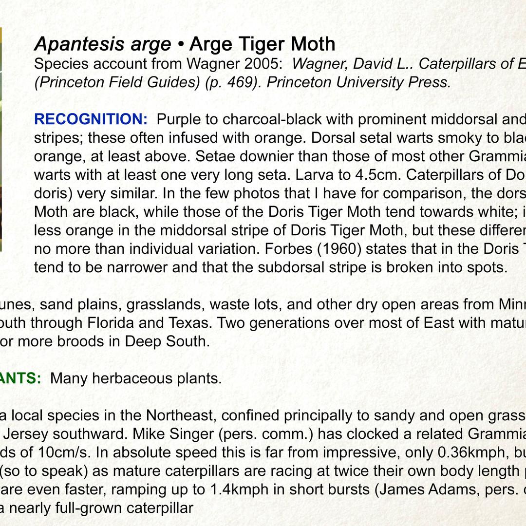 Apantesis arge •  Arge Tiger