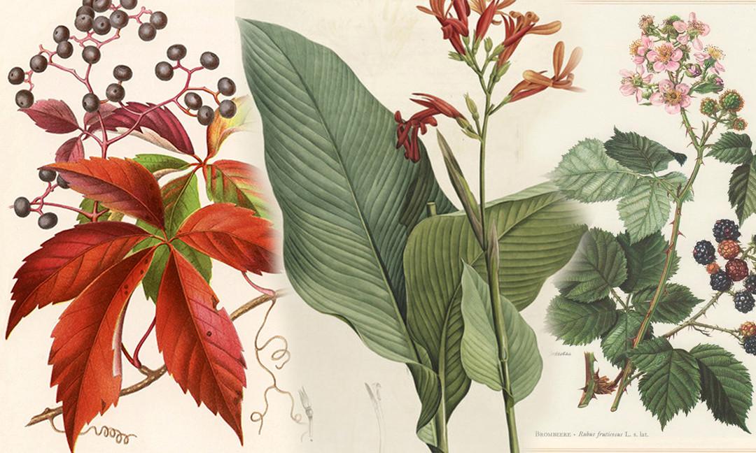 Hypercompe scribonia  •  Giant Leopard Moth