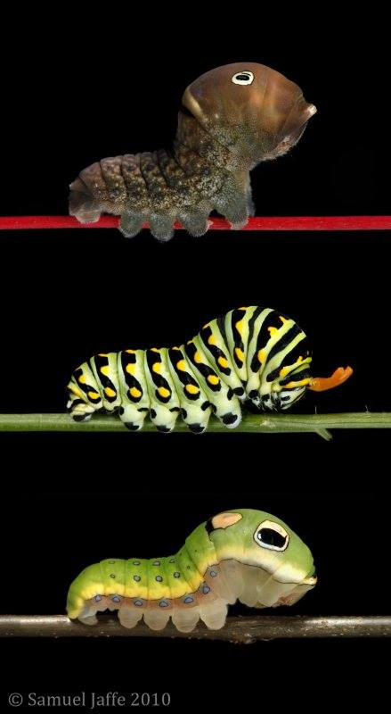 THE OSMETERIUM: SPOTLIGHT ON CATERPILLAR ANATOMY