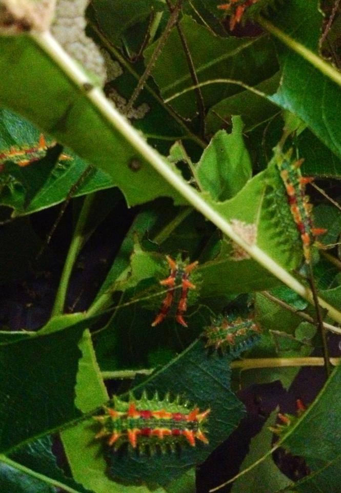 Spiny Oak Slug Caterpillars