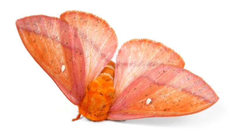 Anisota stigma • Spiny Oakworm