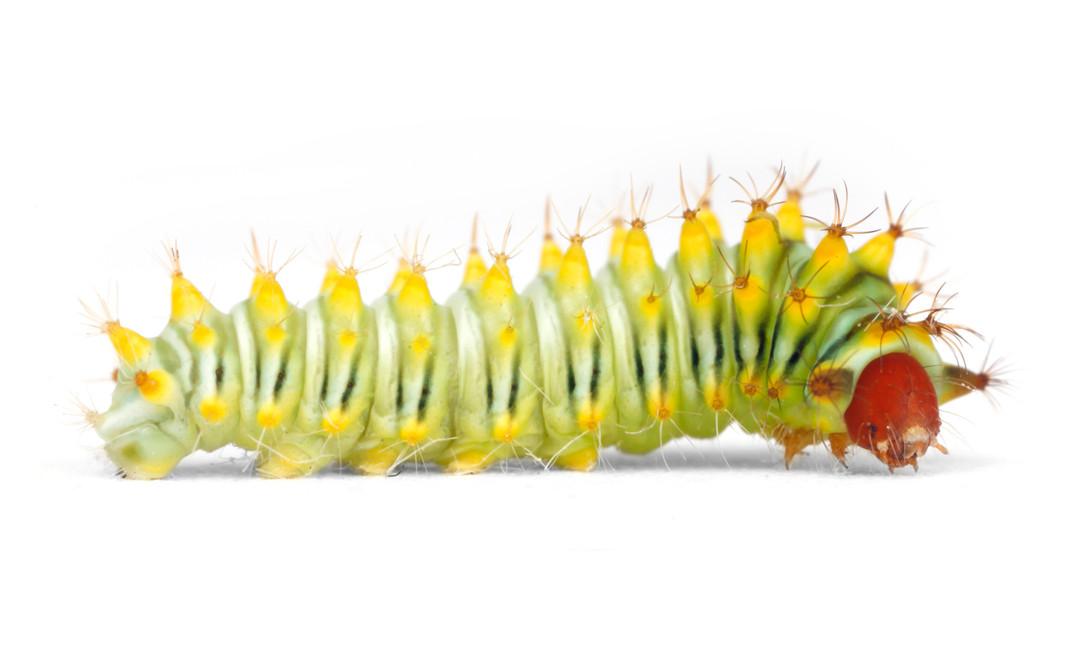 Antheraea polyphemus • Polyphemus Moth