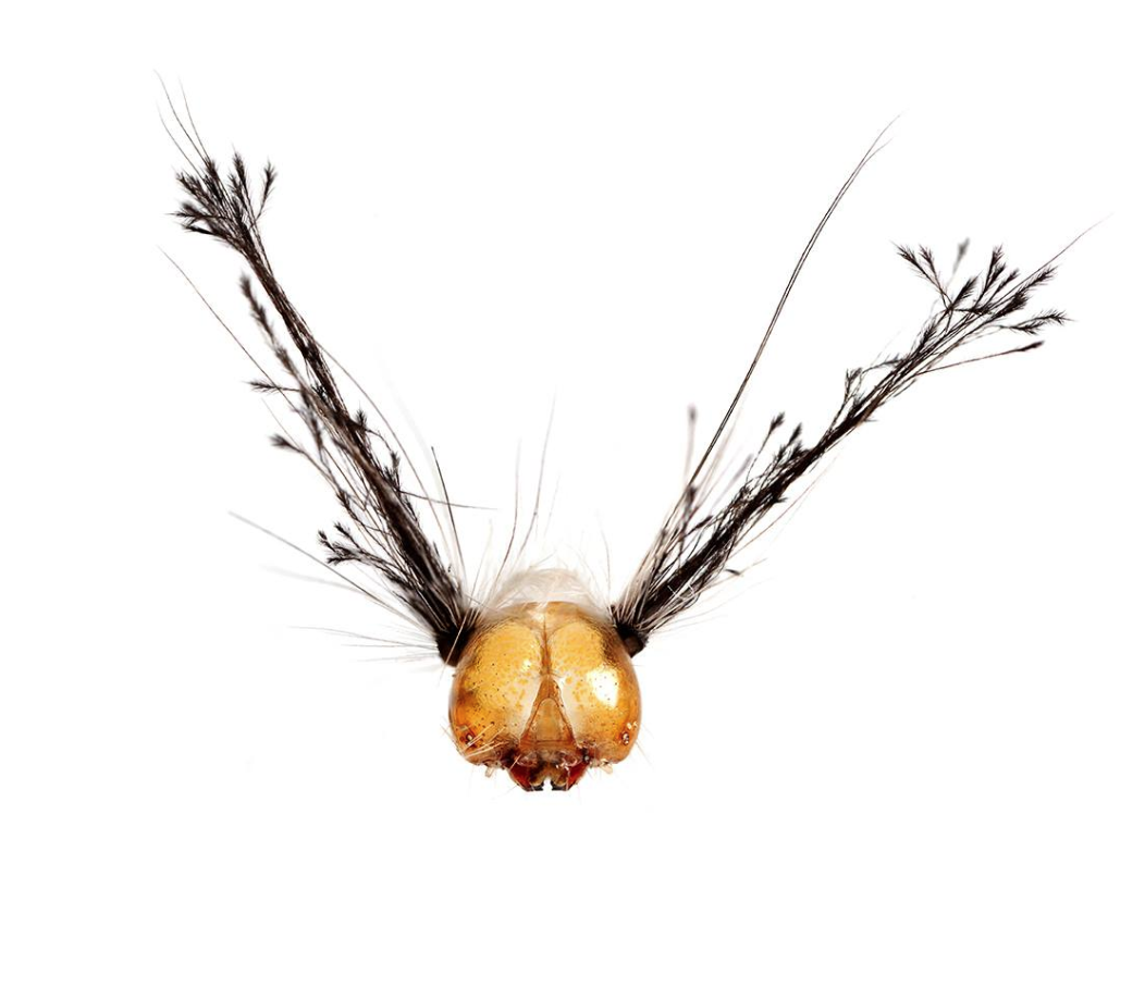 White-marked tussock head
