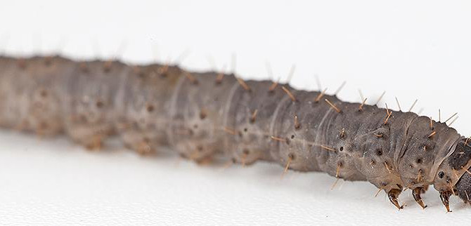 CATERPILLAR OF THE WEEK:  IDIA PART 2: THE ECLOSION