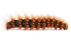 Arctiina Tiger Moths