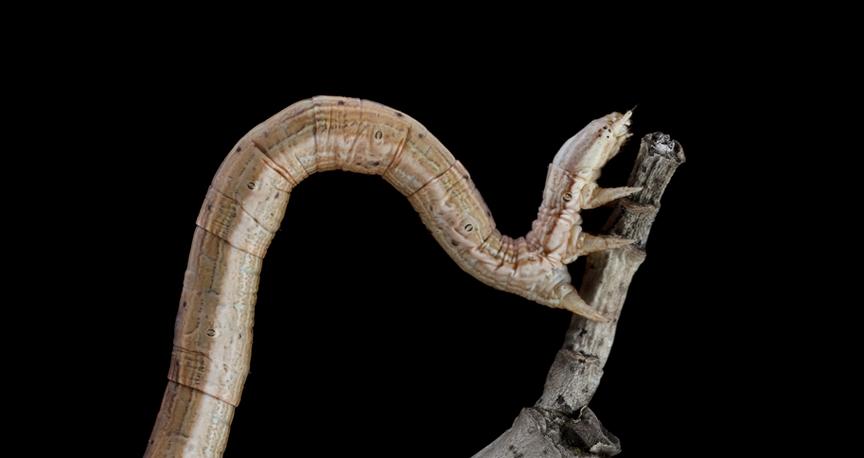 Xanthotype Caterpillar