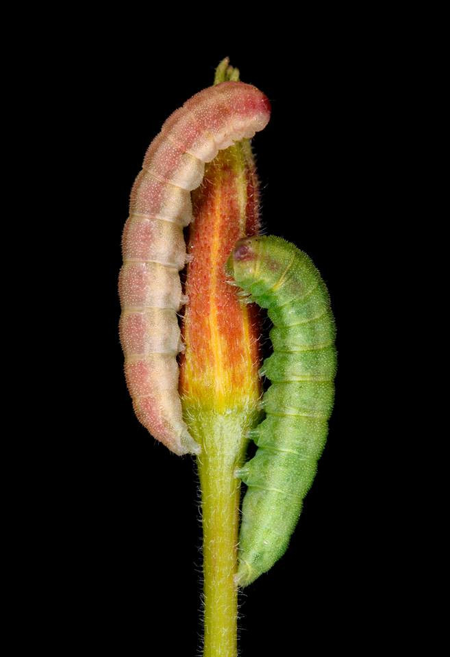 Evening Primrose Caterpillar