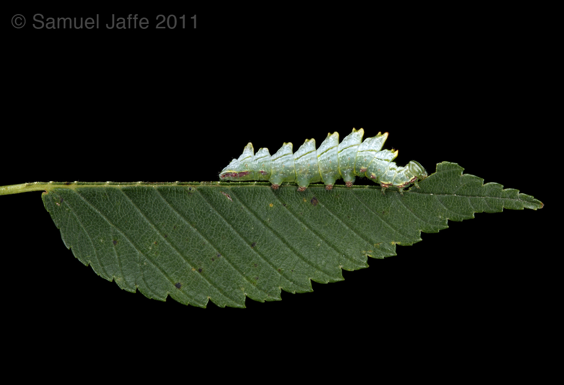 Double-Toothed Prominent