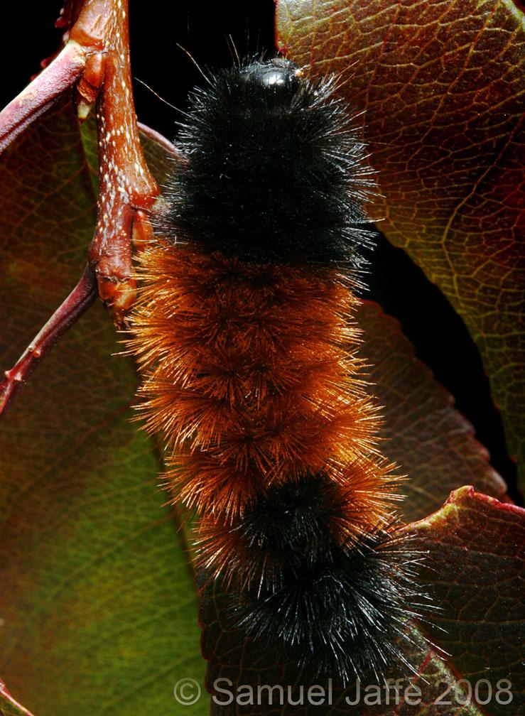 Woolly Bear larva