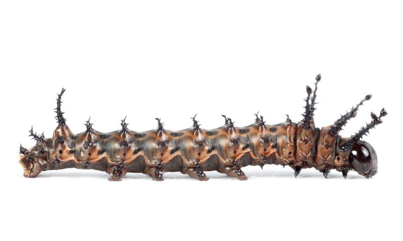 Citheronia sepulcralis • Pine Devil
