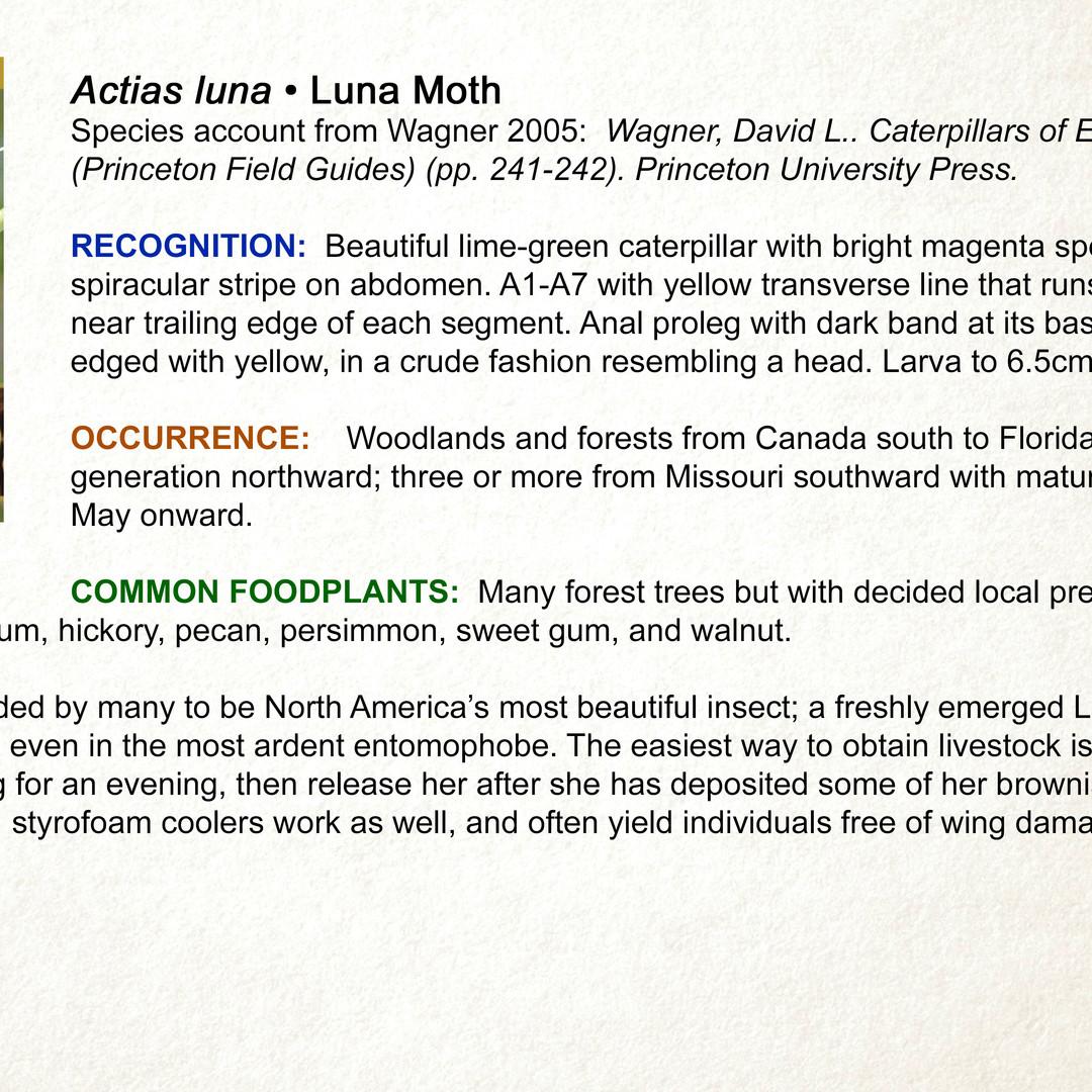Actias luna • Luna Moth