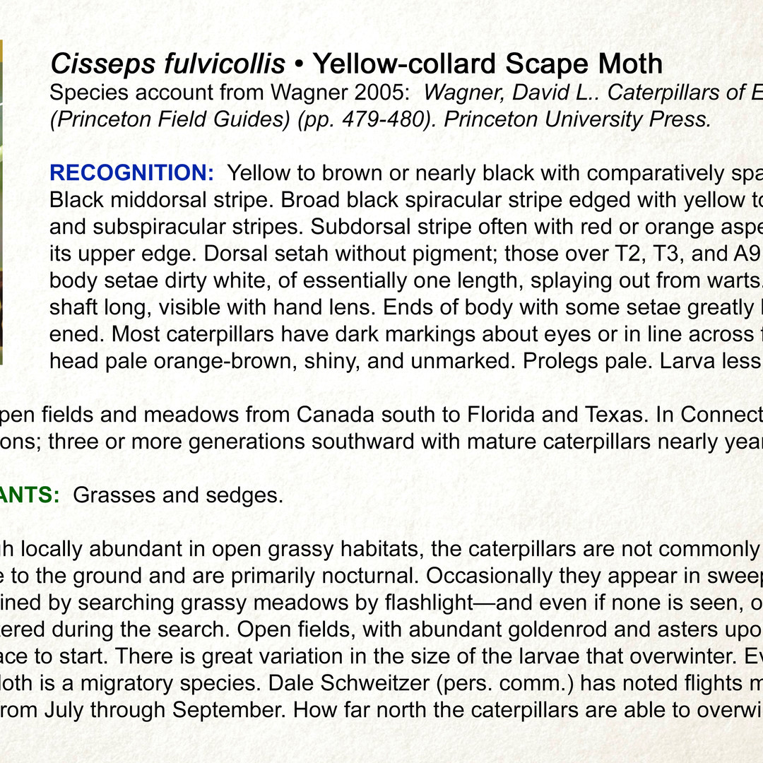 Cisseps fulvicollis •  Yellow-collared Scape Moth