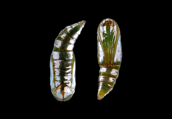 CATERPILLAR OF THE WEEK PART II:  Sicya macularia - Beautiful Pupa