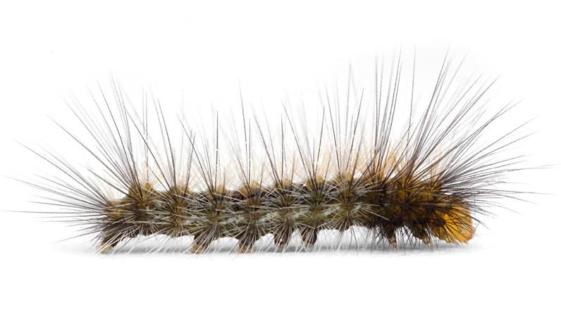 Spilosoma virginica  •  Virginia Tiger Moth  •  Yellow Bear