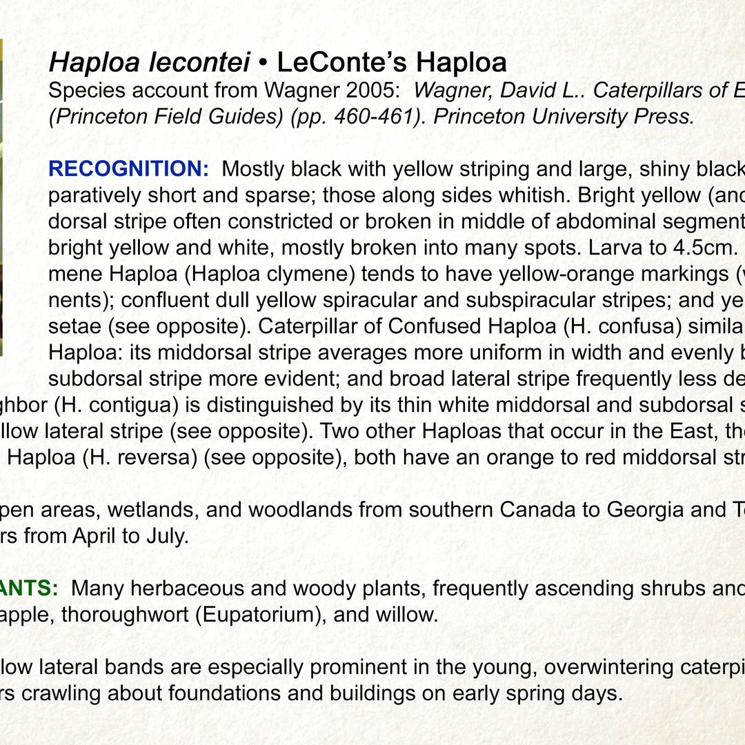 Haploa lecontei •  Leconte's Haploa