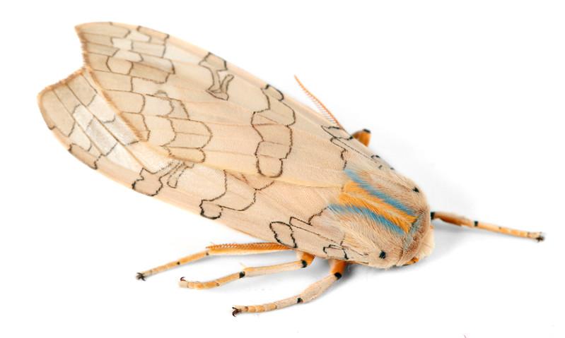 Halysidota tessellaris  •  Banded Tussock