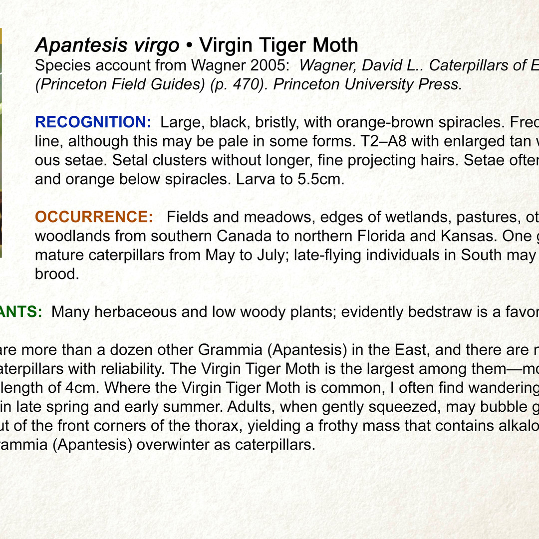 Apantesis virgo  •  Virgin Tiger