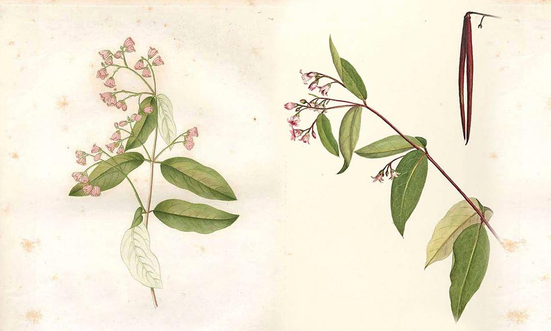 Cycnia oregonensis  •  Oregon Cycnia