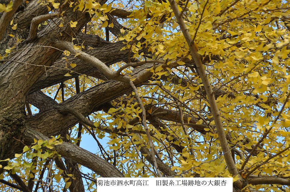 DSC_0489 イチョウ (9).png