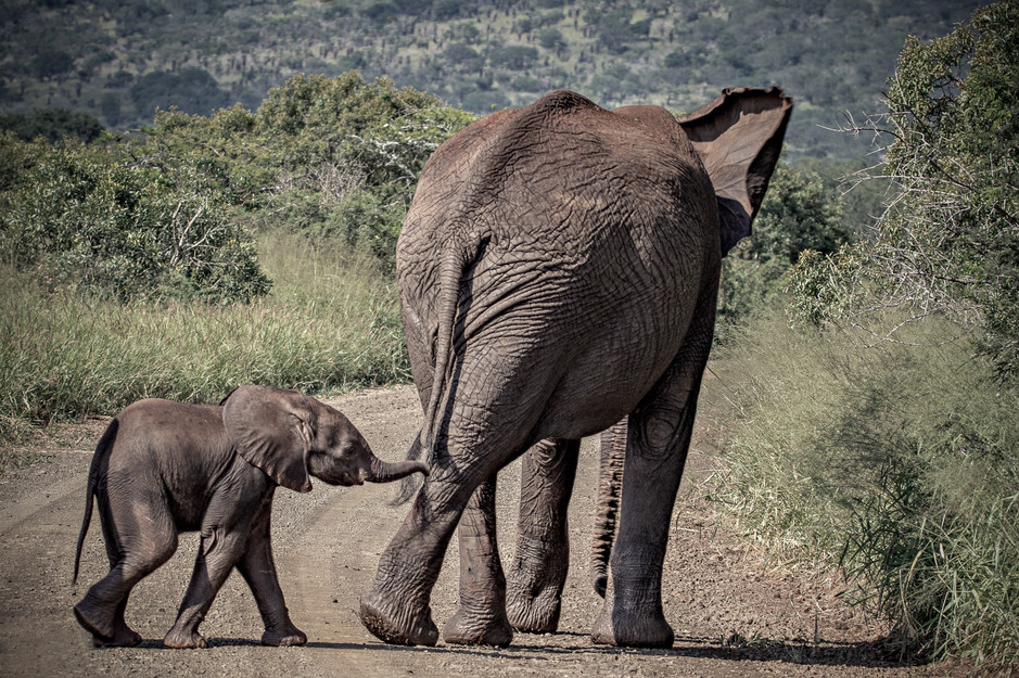 elephant trace