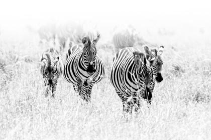 zebra crew