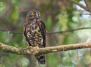06 (a). Brown hawk owl.JPG