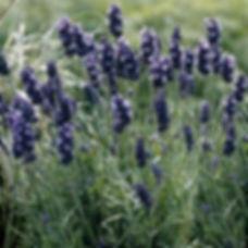 super lavender.jpeg